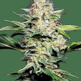 Cannabisfrø Sensi Seeds Sensi Skunk Automatic
