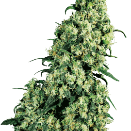 Cannabisfrø Sensi Seeds Skunk #1