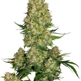 Cannabisfrø Sensi Seeds Skunk #1 Automatic