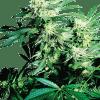 Cannabisfrø Sensi Seeds Skunk Kush