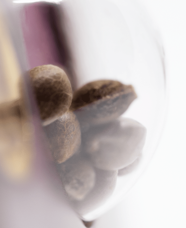 Cannabisfrø Sensi Seeds Super Skunk 4