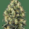 Cannabisfrø Sensi Super Skunk Automatic
