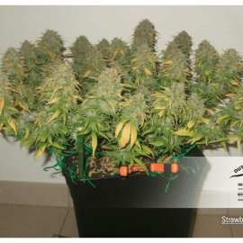 Cannabisfrø Strawberry CoughDutch Passion