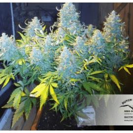 Cannabisfrø Think Differen Dutch Passion