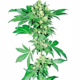 Cannabisfrø afghani-1-feminized-xl