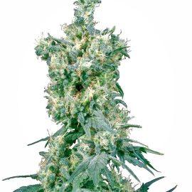 Cannabisfrø american-dream-xl