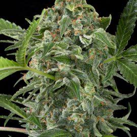 Cannabisfrø-Autodinafem-White_Cheese_Auto-