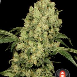Cannabisfrø AK-47 Serious Seeds (2)