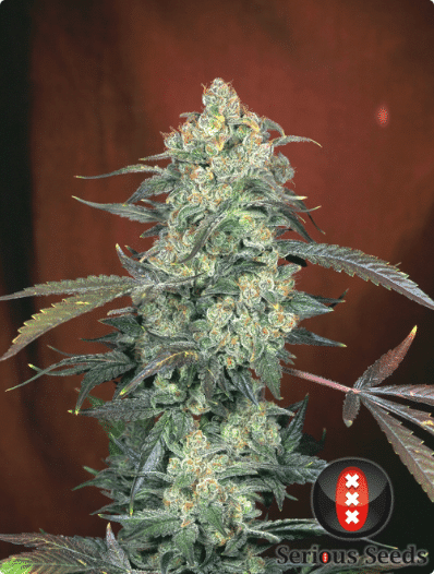 Cannabisfrø AK-47 Serious Seeds (2)