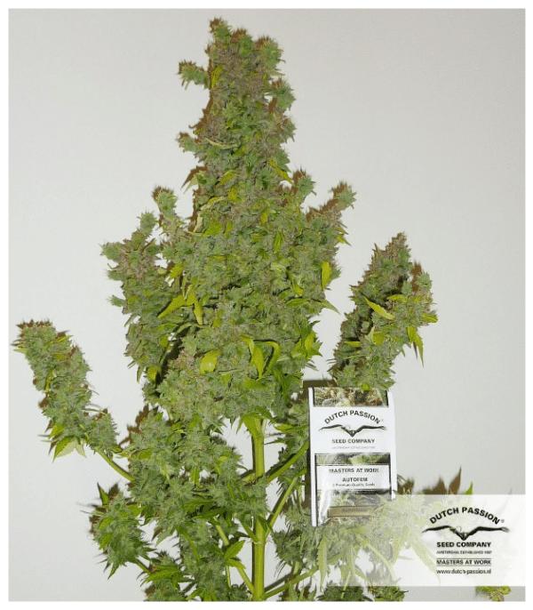 Cannabisfrø Auto Mazar Dutch Passion