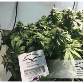 Cannabisfrø Auto Orange Bud Dutch Passion