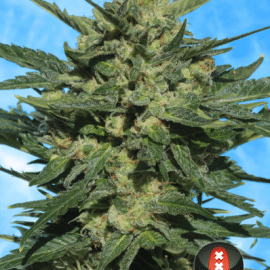Cannabisfrø Autoflowering White Russian #1 Serious Seeds
