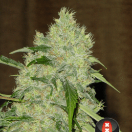 Cannabisfrø Bubble Gum Serious Seeds