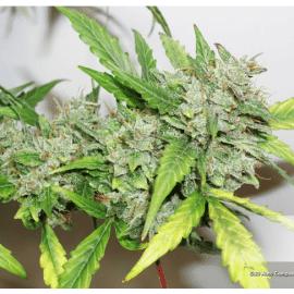 Cannabisfrø CBD Auto Compassion Lime Dutch Passion