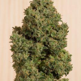 Cannabisfrø CBD Blue Dream CBD (2)