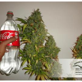 Cannabisfrø Californian Orange Dutch Passion
