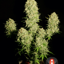 Cannabisfrø Chronic Serious Seeds