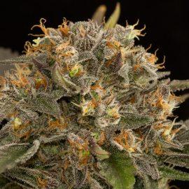 Cannabisfrø-Dinafem-Blue_Kush (2)