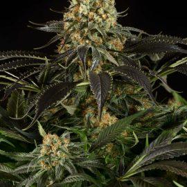 Cannabisfrø Dinafem White Siberian (4)
