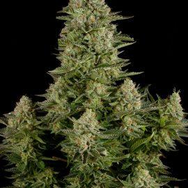 Cannabisfrø Dinafem White Widow (2)