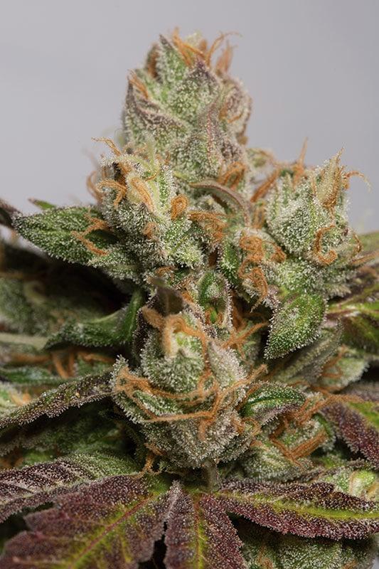 Cannabisfrø HSO 707 Truthband