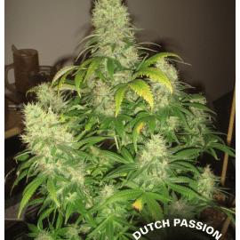 Cannabisfrø Mazar Dutch Passion