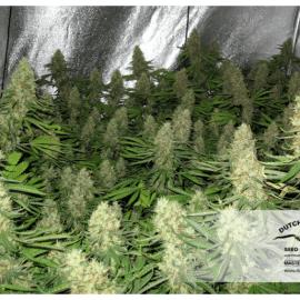 Cannabisfrø Power Plant Dutch Passion