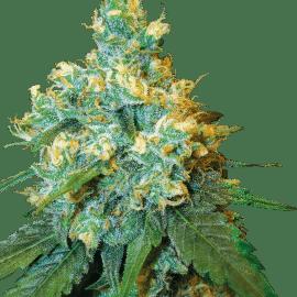 Cannabisfrø Sensi Seeds Jack Herer Feminiserede