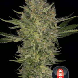 Cannabisfrø Serious Kush Serious Seeds