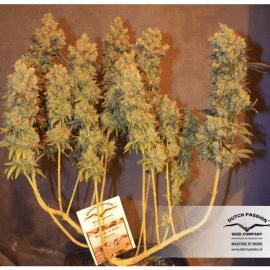 Cannabisfrø The Ultimate Dutch Passion
