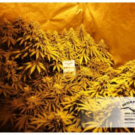 Cannabisfrø Think Fast Dutch Passion 1