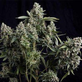 Cannabisfrø Tutankhamon