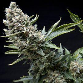 Cannabisfrø Tutankhamon2
