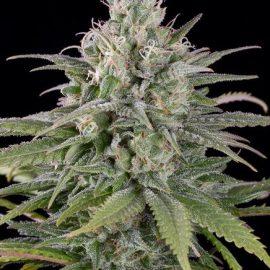 Cannabisfrø UK Cheese Auto HSO