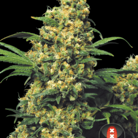 Cannabisfrø Warlock Serious Seeds