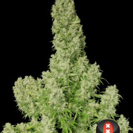 Cannabisfrø White Russian Serious Seeds