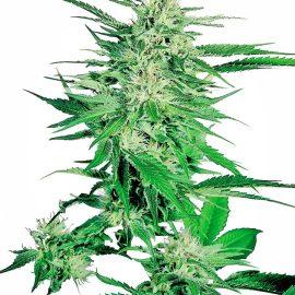 Cannabisfrø big-bud-feminized-xl
