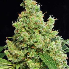 Cannabisfrø-Dinafem-Blue_Hash (4)