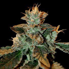 Cannabisfrø dna genetics cataract kush