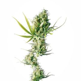 Cannabisfrø durban-feminised-xl