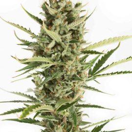Cannabisfrø-xdinafem-amnesia-xxl-auto-_x.jpg.pag