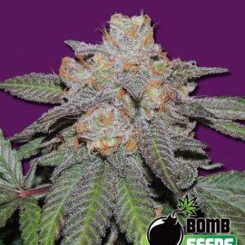 Cherry-Bomb-Auto autoblomstrende cannabisfrø