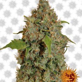 Chronic-Thunder cannabisfrø