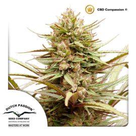 Compassion-Dutch-Passion CBD cannabisfrø