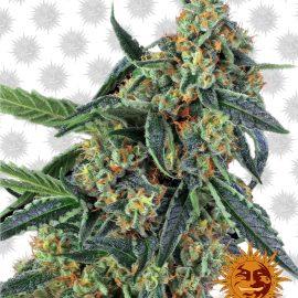 Cookies-Kush cannabisfrø