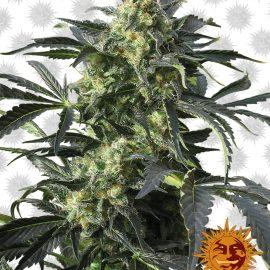Crimea-Blue cannabisfrø