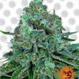 Critical-Kush cannabisfrø