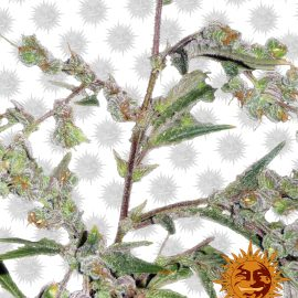 Dr-Grinspoon cannabisfrø