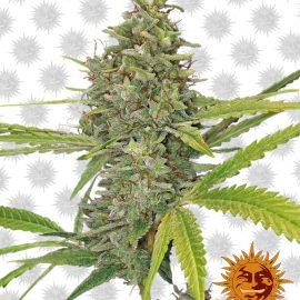 G13-Haze cannabisfrø