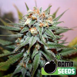 Hash-Bomb cannabisfrø